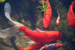 Goldfish in our Pond