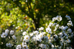 Japanese Anemones in the Garden