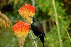 Visiting Tui on the Red Hot Poker