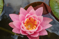 Water Lily in our Pond