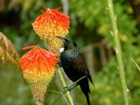 Tui enjoying the Red Hot Pokers